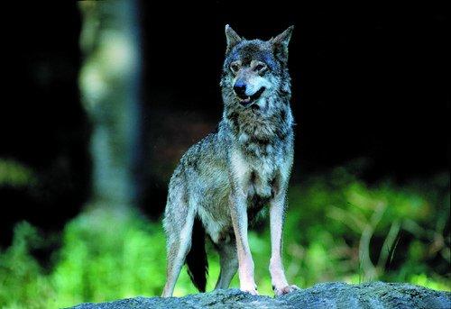 la legge del lupo luigi lo forti